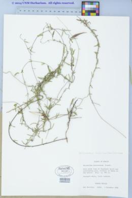Metastelma arizonicum image