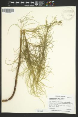 Oxytenia acerosa image
