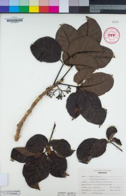 Image of Vitex lucens