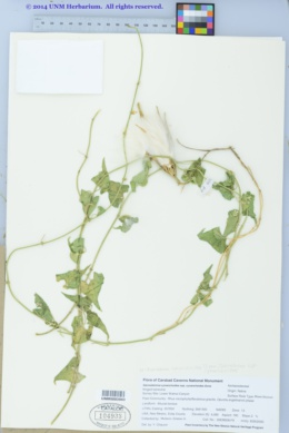 Sarcostemma cynanchoides subsp. cynanchoides image