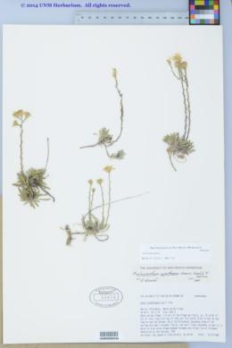 Image of Arida blepharophylla