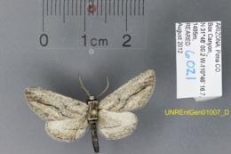 Image of Holochroa dissociarius