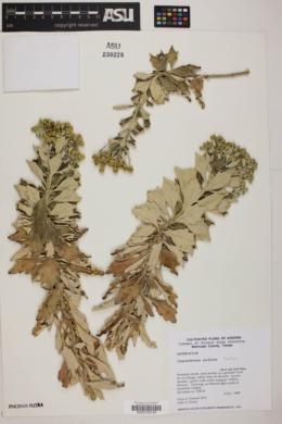 Chrysanthemum pacificum image