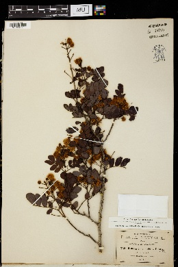 Image of Mimosa leucaenoides