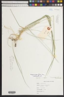 Image of Roegneria glaucifolia