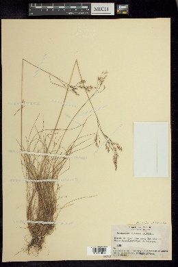 Image of Avenella flexuosa