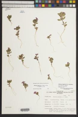 Diplacus bigelovii var. cuspidatus image