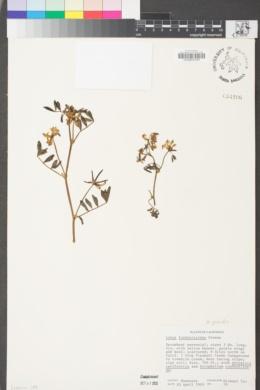 Hosackia gracilis image