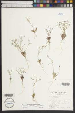 Gilia leptomeria var. leptomeria image