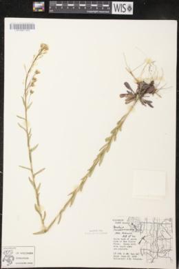 Arabis missouriensis image