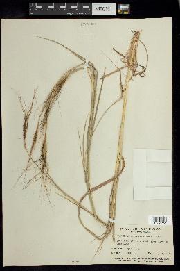 Heteropogon contortus image