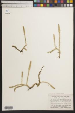 Lycopodiella inundata image