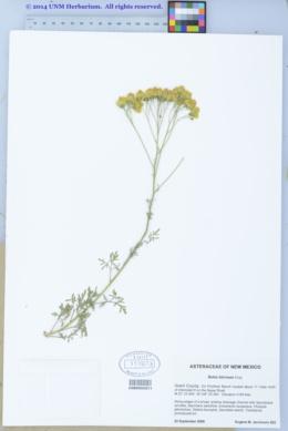 Image of Hymenothrix biternata