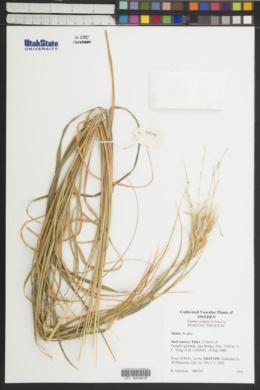 Image of Elymus yangiae