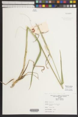 Image of Elymus abolinii