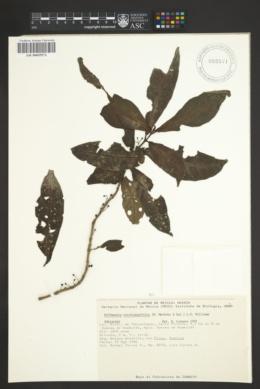 Hoffmannia nicotanaefolia image