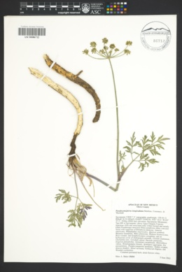 Pseudocymopterus longiradiatus image