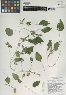 Image of Acalypha burquezii