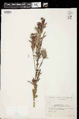 Lespedeza capitata var. stenophylla image