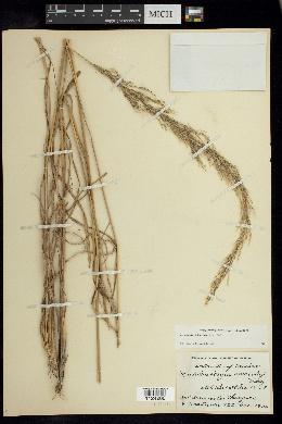 Muhlenbergia distichophylla image