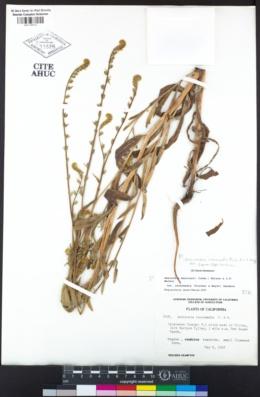 Amsinckia intermedia image