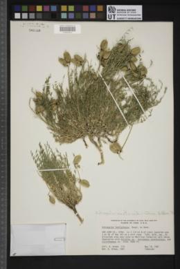 Astragalus eastwoodiae image