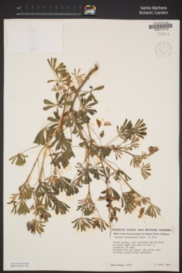 Lupinus succulentus image