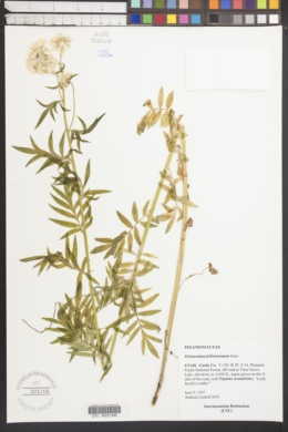 Polemonium foliosissimum image