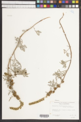 Ambrosia bipinnatifida image