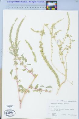 Amaranthus watsonii image