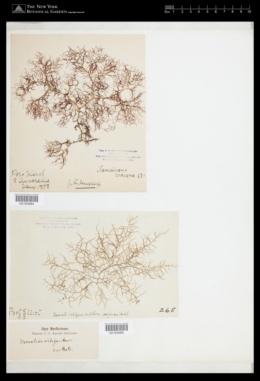 Helminthocladia densa image