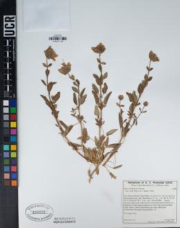 Salvia mohavensis image