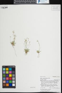 Draba crassifolia image