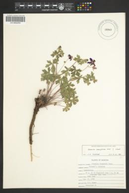 Geranium caespitosum var. eremophilum image