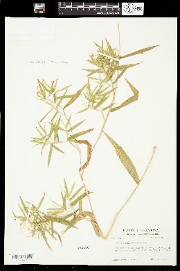 Image of Dichanthelium malacophyllum