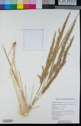 Calamagrostis nutkaensis image
