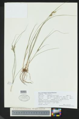 Cyperus schweinitzii image