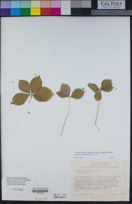 Image of Lysimachia latifolia