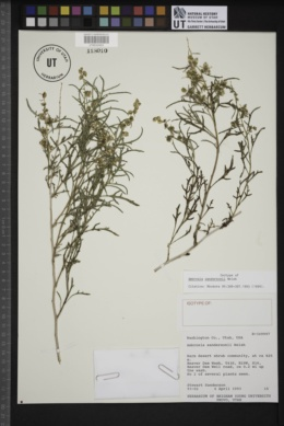 Ambrosia sandersonii image