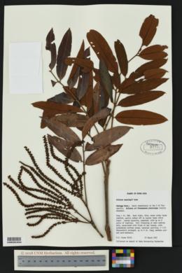 Image of Alfaroa manningii