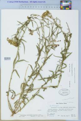 Gymnosperma glutinosum image