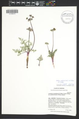 Lomatium nevadense var. nevadense image