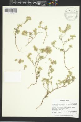 Cryptantha nevadensis image