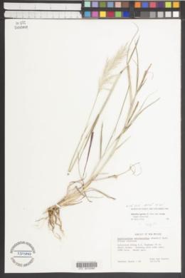 Bothriochloa laguroides subsp. torreyana image