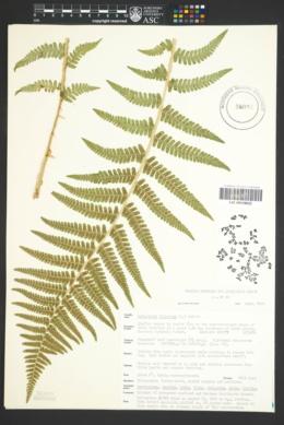 Dryopteris filix-mas image