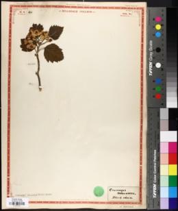 Image of Crataegus tomentosa