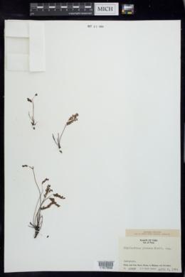 Image of Phyllanthus junceus