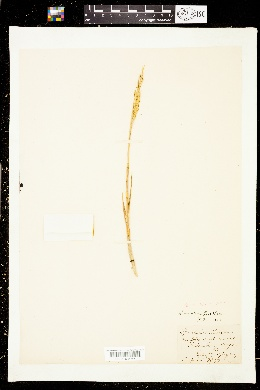 Image of Spartina maritima