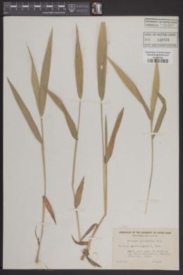 Image of Panicum xanthophysum
