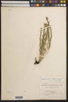 Image of Lithospermum breviflorum